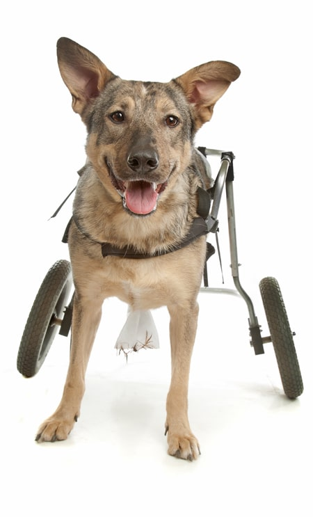 Dog with wheelchair photo